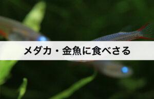 ボウフラ対策① 【ボウフラの天敵】メダカ・金魚に食べさる
